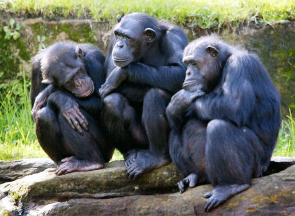 What do you call a group of chimpanzees? - Quora