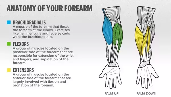 How to get bigger forearms and wrists - Quora