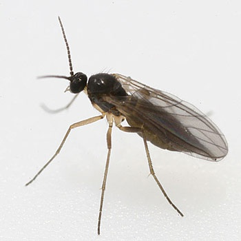 How To Get Rid Of These Small Black Flies Quora