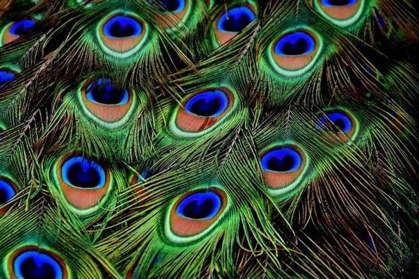 peacock leave,nari
