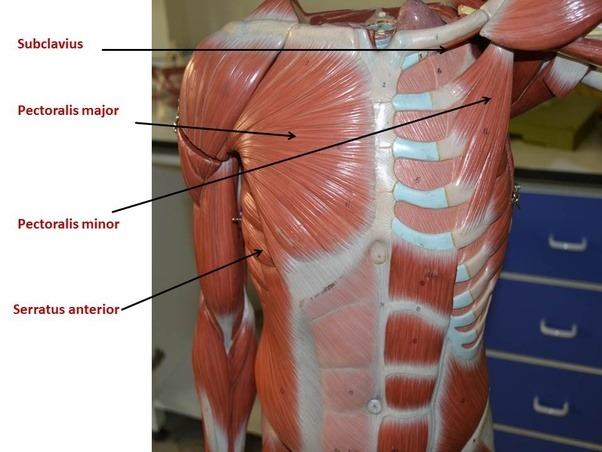 What should I do if I pulled a muscle in my left pectoral region ...