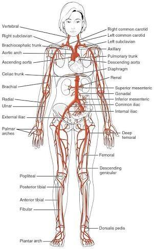How many arteries are present in a human body? - Quora