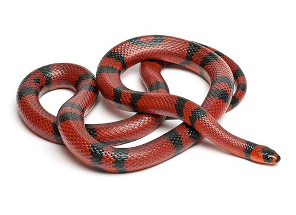 Adopt Sir Hiss a Lot on (With images) | Milk snake ... |Milk Snake Humor