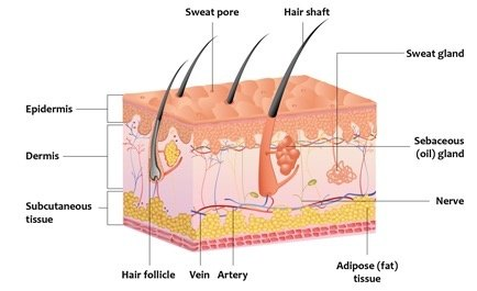 What is the most superficial dermis layer of the skin ...