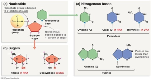 What Are The Molecules That Make Up Dna Quora