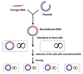 therefore, restriction enzymes are very useful in genetic engineering
