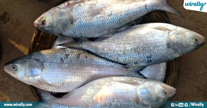 Why is pulasa fish famous in Andhra Pradesh? - Quora