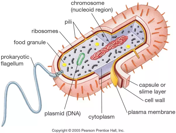 What do you mean by prokaryotic cells quora hence the genetic material of the cell is just scattered in the cell the best examples of prokaryotic cells are bacteria virus etc ccuart Gallery