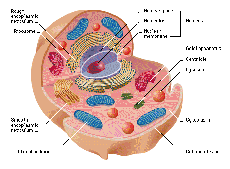 What Are The Types Of Rna In A Cell What Are Their Functions Quora