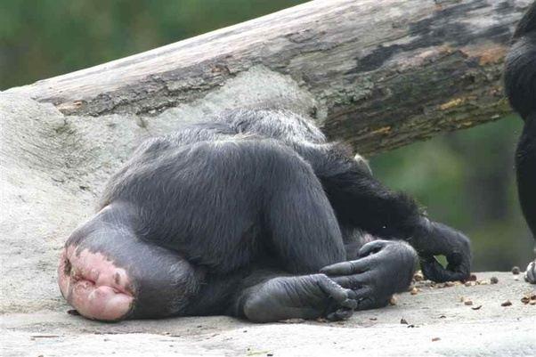 gorilla-pussy-pictures