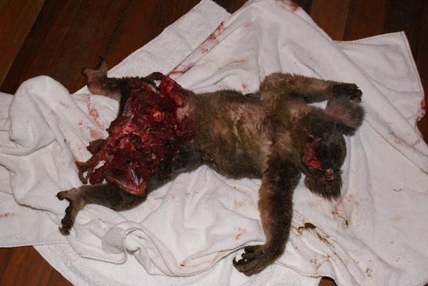 What Preys On Koalas Quora