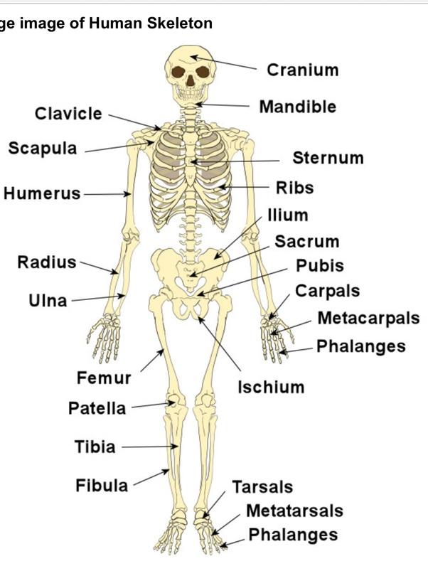 What would happen if we had no bones? - Quora