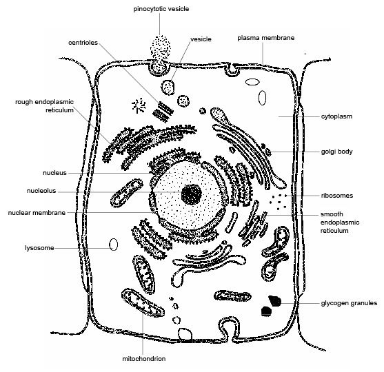 do all cells look alike in terms of shape and size