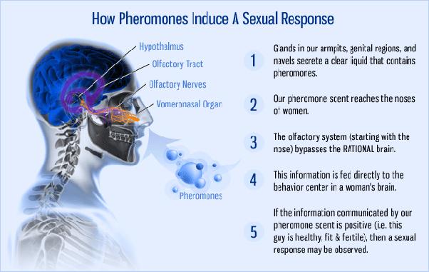 What are the effective attributes of pheromones? - Quora