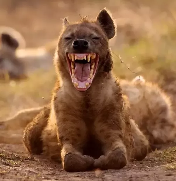 Why are hyenas so awesome? - Quora