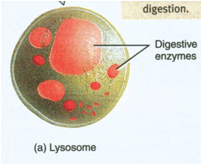 Why are lysosomes in plant and animal cells quora related questionsmore answers below ccuart Images
