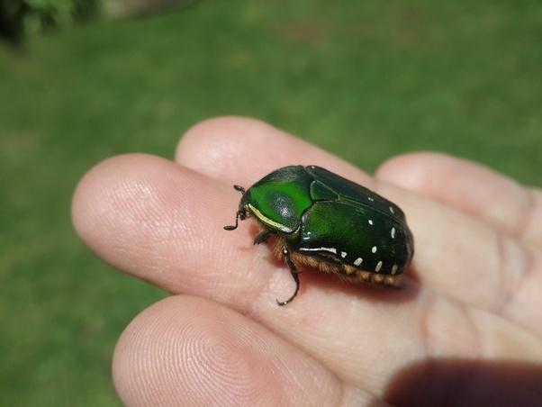 Do June bugs bite? - Quora