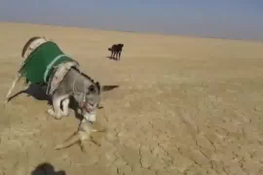 Donkey turned off a wild fox that came too close.