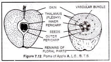 why is an apple called a false fruit