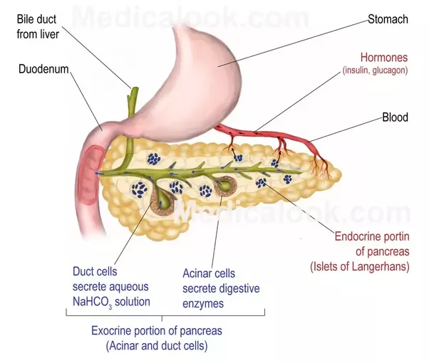 What are some relevant examples that explain why the pancreas gland ...