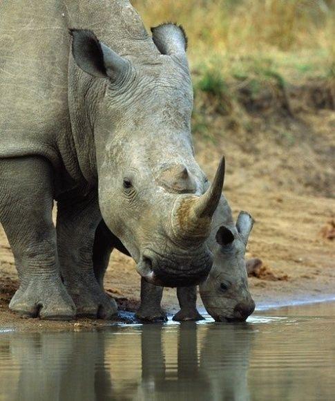 rhinoceroses eat kill Crocodiles and adult