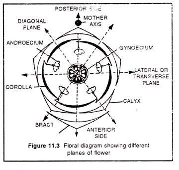 What Is The Floral Diagram Of A Day Flower Quora