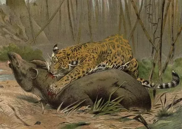 a jaguar vs a silverback gorilla which one would win in a fight