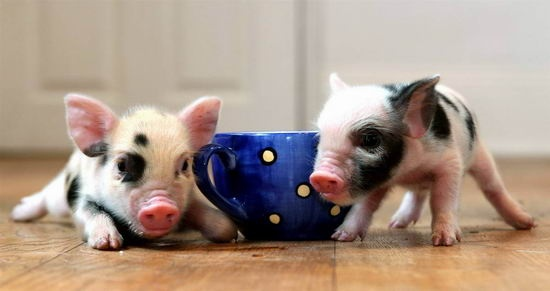 Some Have Claimed That Breeders Tricked Them Selling A Baby Potbelly Pig Under The Name Of Teacup