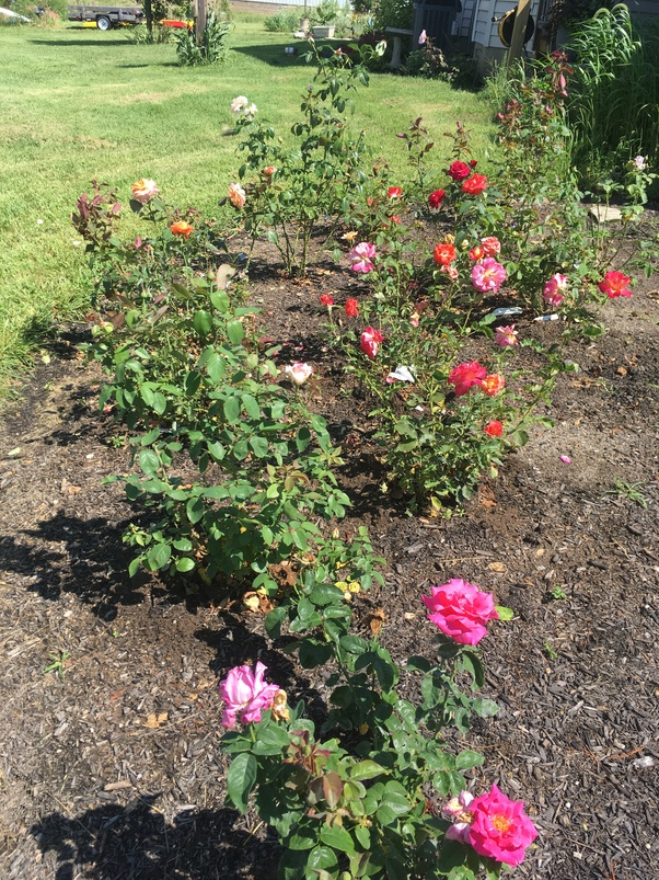 How To Properly Take Care Of Roses And Grow Them Well Quora