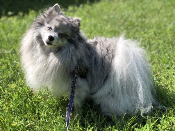 Could a Pomeranian be shaved to look like a lion? - Quora