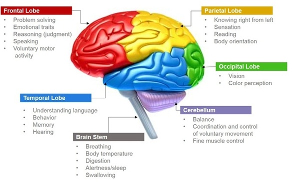 the sides of the brain and what they control