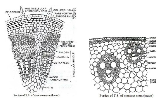 in dicot stem bundle sheath is absent, while in monocot stem the bundle  sheath is present
