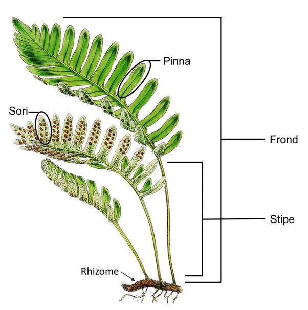 Fern Rhizome Do ferns have r...