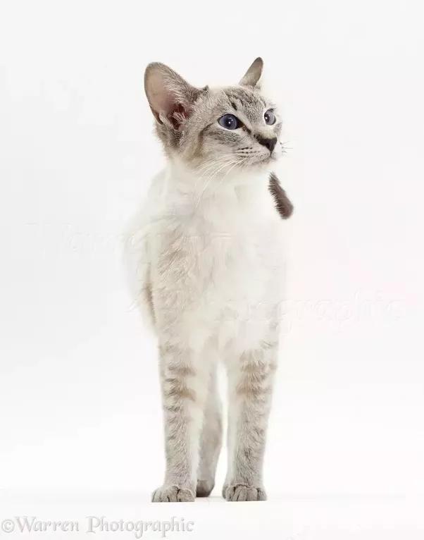 Do Siamese Cats Scratch A Lot