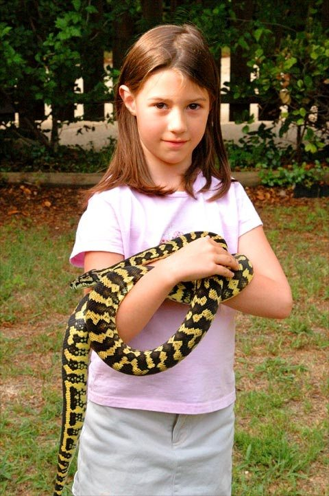How come most Python snakes stay calm on their owners neck ...