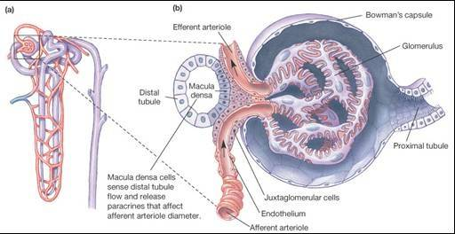 What is the function of the macula densa cells of the ...