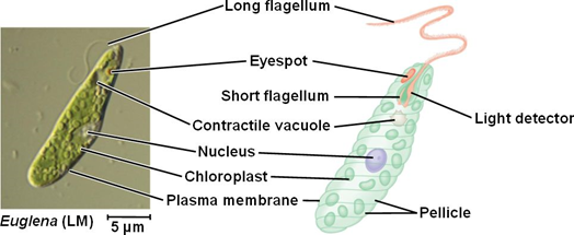 What Are The Major Characteristics Of An Euglena Cell