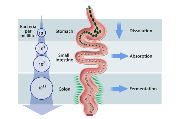 Absorption Of Digested Food Takes Place In