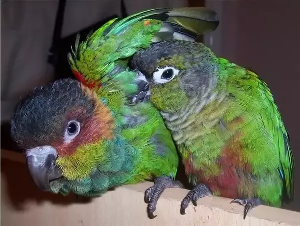 which bird pet is better cockatiel or conure quora