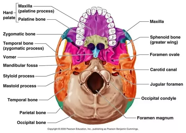 What Bones Are The Ones That Make Up The Hard Palate Quora