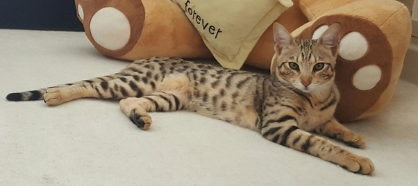 Why are Savannah cats so expensive? - Quora