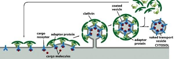 Adaptor molecule