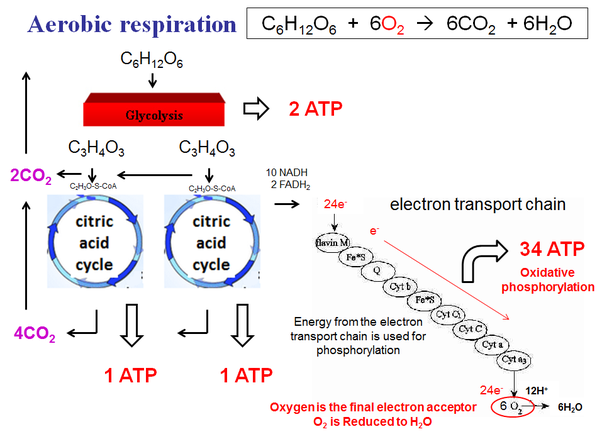 Why does the anaerobic respiration produces less energy than aerobic creating a membrane potential that produces atp as hydrogen ions h return across the membrane through atp synthase in chemiosmosis ccuart Gallery