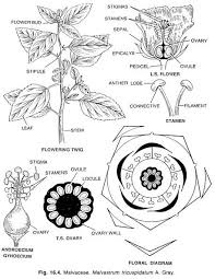 What is the floral formula of a malvaceae family quora 938 views ccuart Images