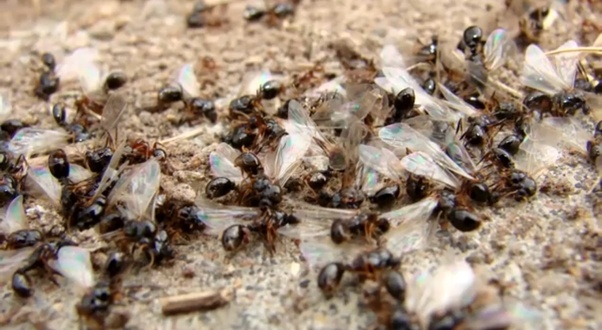 What Is A Group Of Ants Called Clump Of Ants Or Swarm Of Ants Quora
