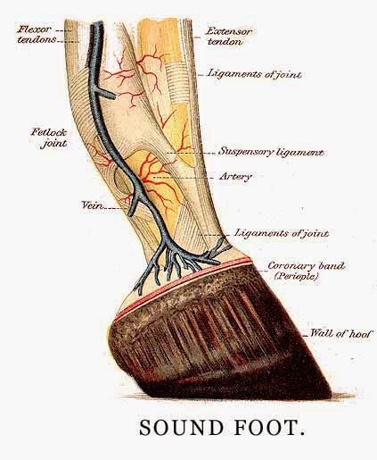 anatomy kaki kuda