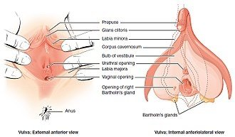 Why is the urinary and reproductive system separate in females but vulva wikipedia ccuart Image collections