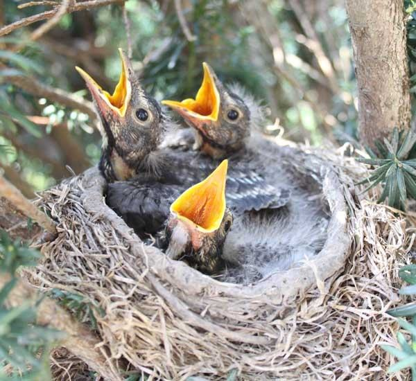 Dead baby robins - advice please - BirdForum