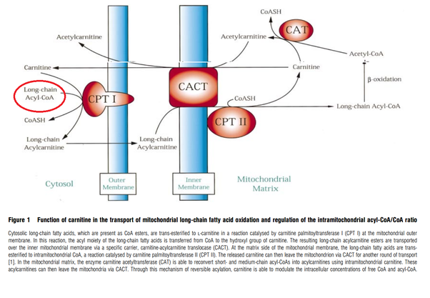 Other Functions Of Carnitine Include Modulation The Acyl CoA Ratio Storage Energy As Acetylcarnitine 65 And Toxic Effects