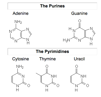 the purines and pyrimidines base pairs are gc and at  this means for every  template adenine a corresponding thymine will be paired in the complementary  dna